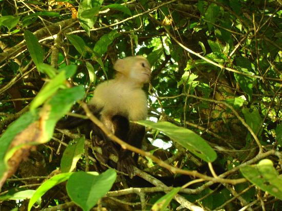 Almonds and Corals Lodge: Cappuchino Monkey