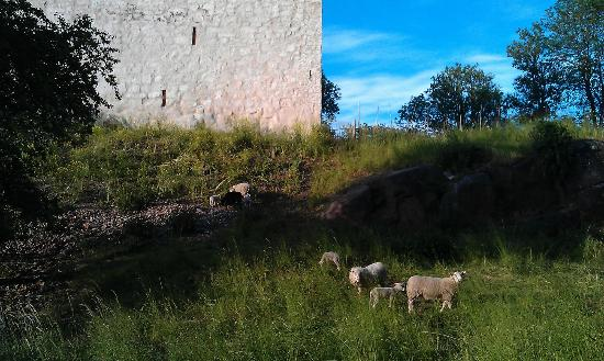 Åland Island, Finnland: Lovely sheep around the castle