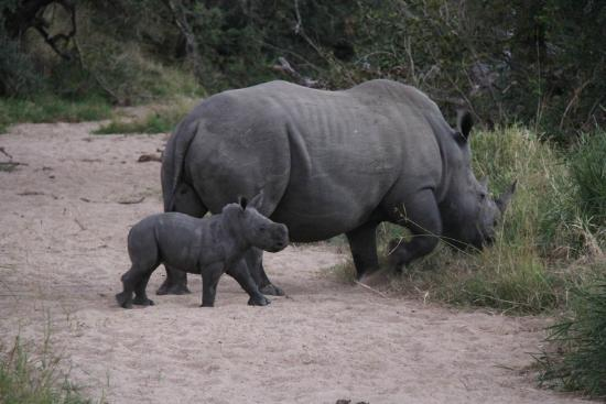 Rhino Post Safari Lodge: Mum rhino with very young calf.