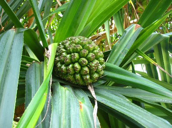 Pineapple Tree Common Name The Most Utilized Tree On The