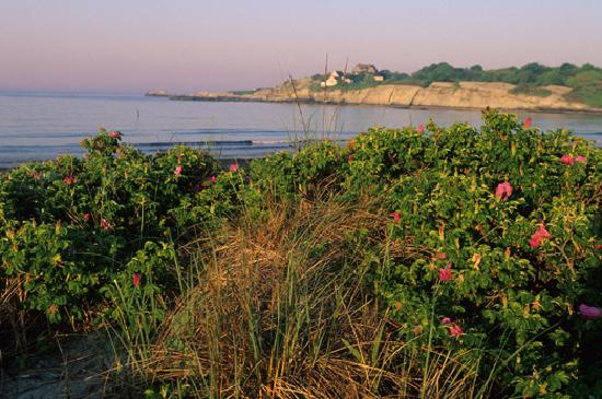 Newport, RI: Beach roses at Sachuest
