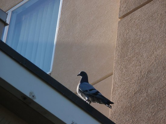 Fairfield Inn Idaho Falls: pigeon on hotel in the morning