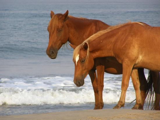 Corolla, NC: Stallion and mare at the oceans edge.