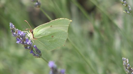Antico Podere Marciano: one of several kinds of butterflies fluttering continuously in the lavender