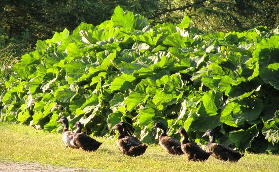 Taraden Bed and Breakfast: Ducks