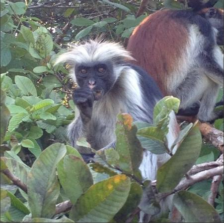 Kizimkazi, Tanzania: Red Back colobus monkey in the near forest