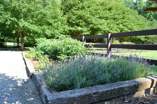 Hawkesdene House: Beautiful Lavender at Hawkesdene.