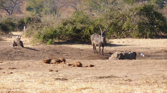 Elephant Valley Lodge: A waterbuck at this waterhole!