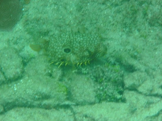 Cantamar Condominiums: Porcupine fish