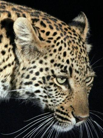 Klaserie Private Game Reserve, South Africa: Leopard Sighting (up close) - Night Drive (offroading)
