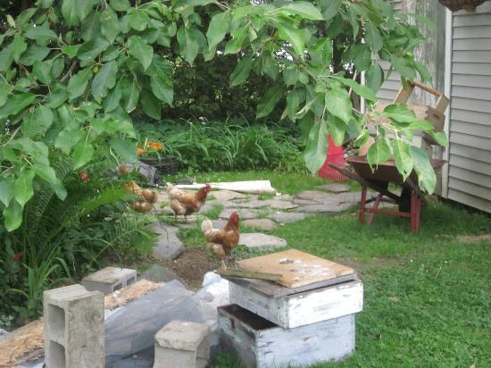 Thistledown Inn B&B: Chickens out for a roam! I loved them..so cute...