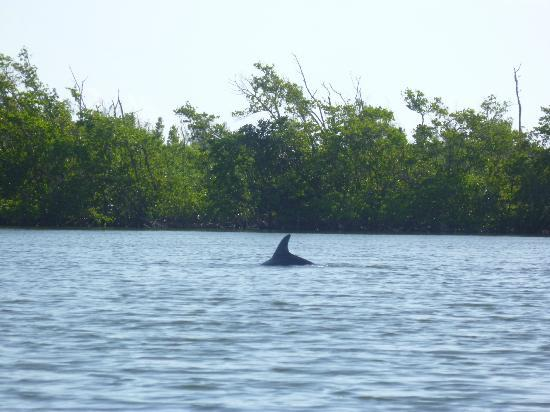 Cocoa Beach, FL: One of the many dolphins we saw. It was tough to get a good picture.