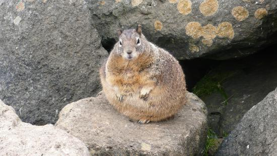 Fat Squirrel Picture Of Best Western El Rancho Morro Bay Tripadvisor