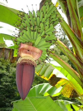 Rio Magnolia Nature Lodge: Bananas growing on the property, delicious