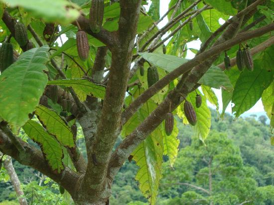 Rio Magnolia Nature Lodge: Cocoa growing on the property