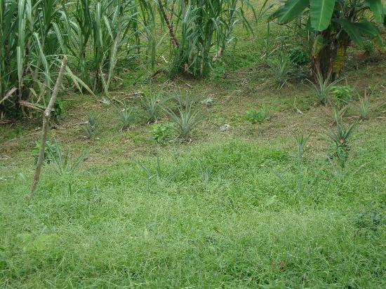 Rio Magnolia Nature Lodge: Pineapples and sugar cane growing on the property, the sugar cane is delicious