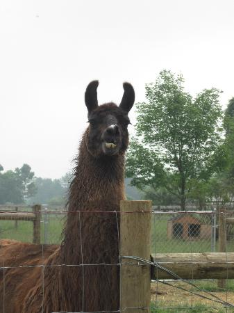 Orchard House Bed and Breakfast: One of the Resident Llamas