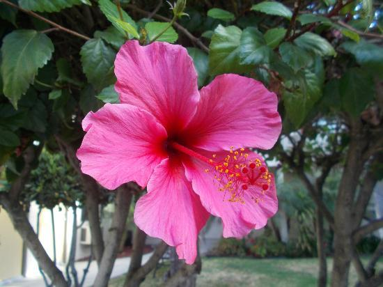 California Suites Hotel: One of the beautiful hibiscus plants outside of our room