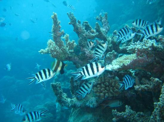 Damsel fish on the great barrier reef for Great barrier reef fish