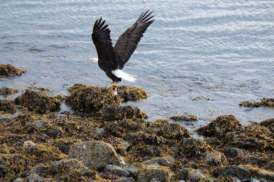 Otter's Cove Bed & Breakfast: Bald Eagle getting salmon out the back of the B&B