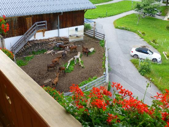 Hotel Bodmi: A view of the goats....