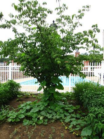 Howard Johnson Express Staunton: Vining plants on a tree with pool in the background.