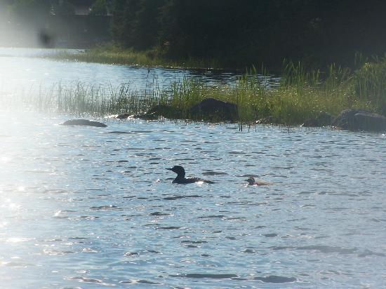 Wabatongushi Lake, Kanada: a family of loons