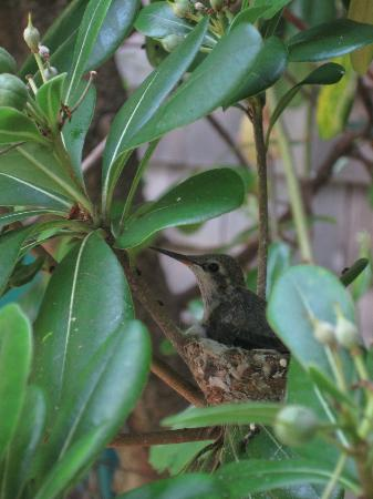 Redwood Hollow - La Jolla Cottages: baby hummingbird in the garden