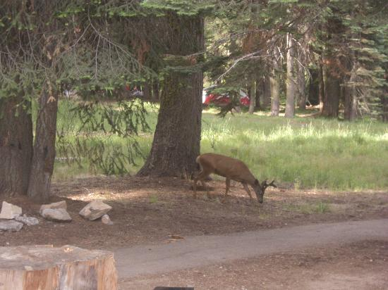 Dorst Campground: deer in campground
