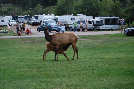 Spruce Lake RV Park: Elk