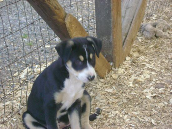 Westmark Tok: Sled dog puppies to view next to the Westmark