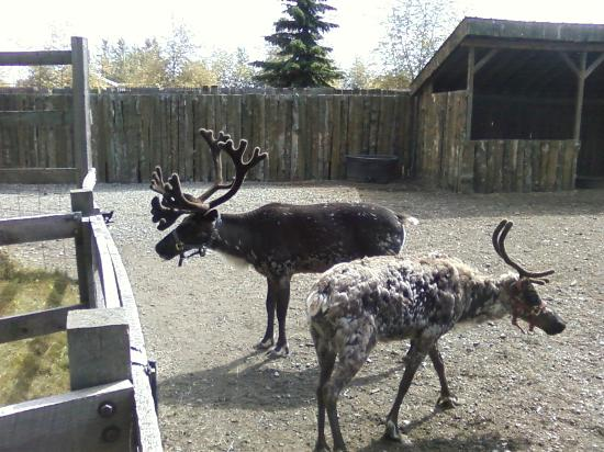 Alaska Wild Berry Products: Reindeer shedding their winter coats - male (larger) and female