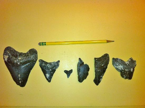 Venice Beach Villas: Shark Teeth found SCUBA diving at 24 feet with MegaladonCharters