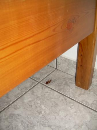 Villa Katerina Studios: One of many cockroaches under the bed.