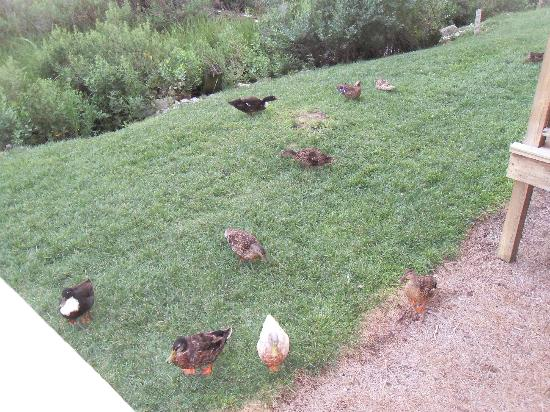 Waterside Inn: The ducks came running anytime we lounged on the balcony