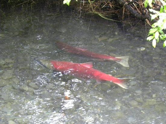 Moose Pass, อลาสกา: Salmon spawning on the Inn's property - extremely cool!