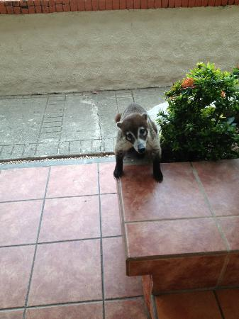 Hotel Condovac la Costa: Coatimundi outside sliding door wanting breakfast
