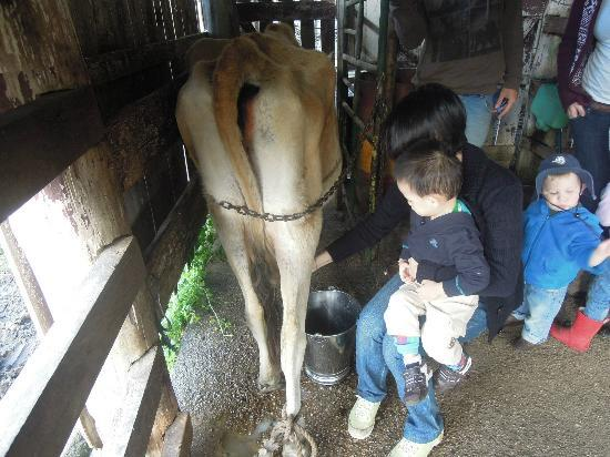 Cedar Glen Farmstay: Hand-milking the cow