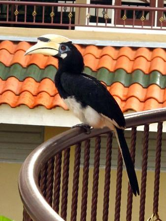 Anjungan Beach Resort & Spa: Hornbills at your balcony