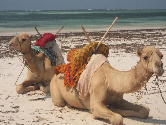SENTIDO Neptune Palm Beach Resort: Camels on beach