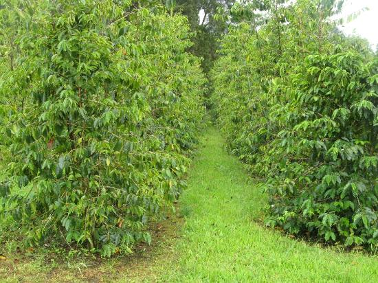 Mountain View, Χαβάη: Coffee Plants at HCM