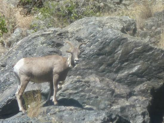 Oxbow, OR: Big Horn Sheep