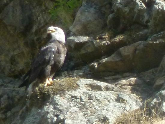 Oxbow, Oregn: Bald Eagle