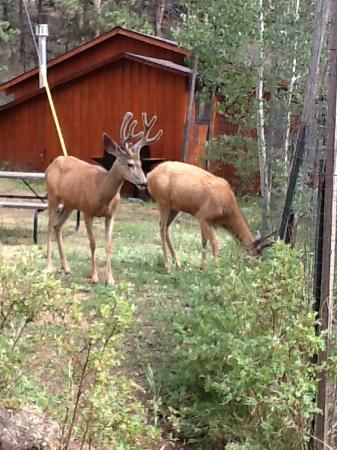 Amberwood: Bucks right off our porch