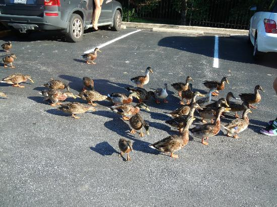 Comfort Inn at the Park: Cute ducks from the pond on the property!