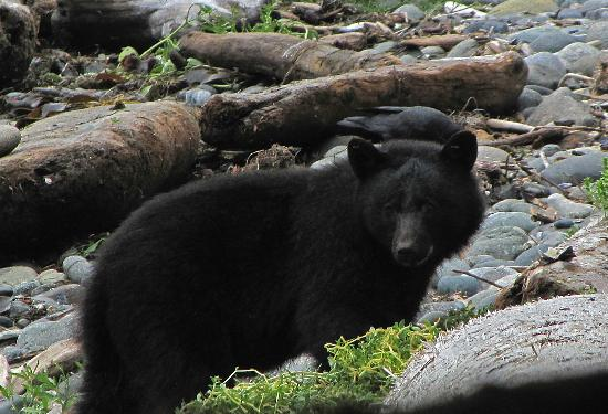 Summerhill Guest House: A black bear on Long Beach