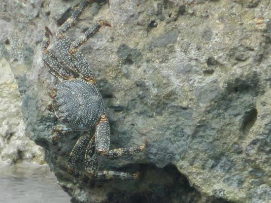 The Catamaran Hotel: Crab laying out on the rocks