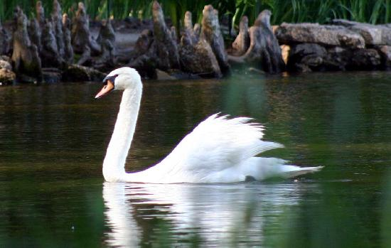 Sumter's Swan Lake Iris Gardens is the only public park in the US to feature all eight known swa