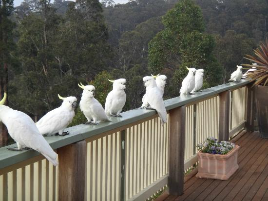 Whale Cove B&B Eden: Sulphur Crested Cockatoos visiting for breakfast