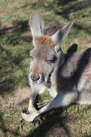 Clandulla Cottages, Beaudesert: Friendly kangaroos
